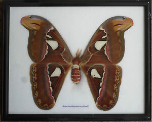 REAL The Atlas Moths(F) Butterfly Insect Gift Taxidermy in frame/BTF18