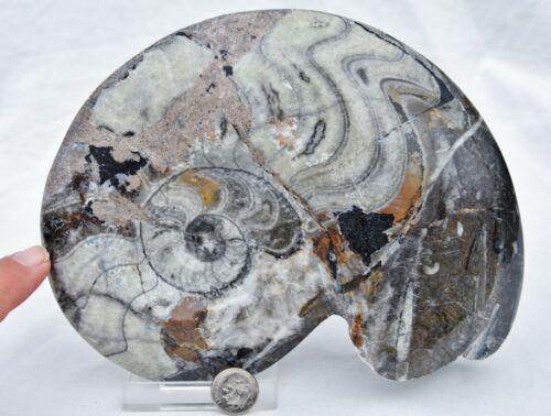 "Dinosaur Fossil Whole Ammonite GONIATITE Multi-Color 180mm XXLARGE 7.0"" 3314yy"