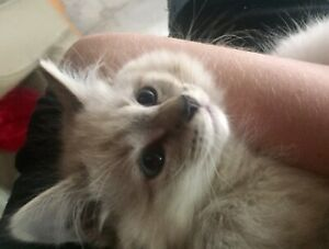Purebred Himalayan Kitten | Male | Blue Point | 11 Weeks