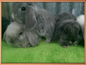 ❤SEAL POINT, CHINCHILLA MINI LOPS VACCINATED HUTCH PACKAGE DEALS Londonderry Penrith Area Preview