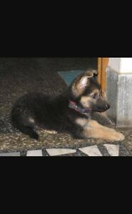 Seeking a German Shepherd puppy Sydney City Inner Sydney Preview