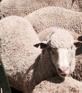 60 Hogget merino ewes joined to Border Rams Bunglegumbie Dubbo Area Preview