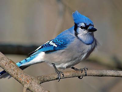 Blue Jay / BIRD 8 x 10 GLOSSY Photo Picture
