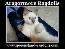 Ragdoll Kittens Pedigree bred by Registered Breeder. Lilac Point Browns Plains Logan Area Preview