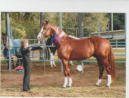 warmblood foals from APH LUDO