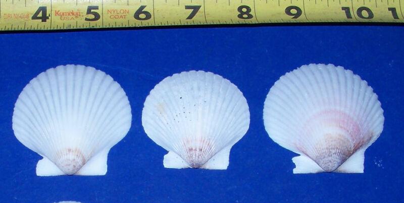 6  WHITE FLORIDA SCALLOP SHELLS SEASHELLS CRAFTS WEDDING DECOR  wfss-6