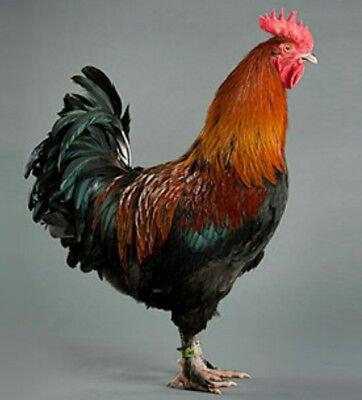 4 Fertile Eggs Copper Maran Black Chicken Hatching Eggs Rare Breed Chicken