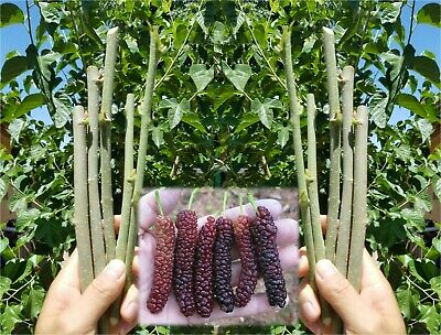 10x Pakistan Mulberry organic fresh cuttings for rooting or grafting