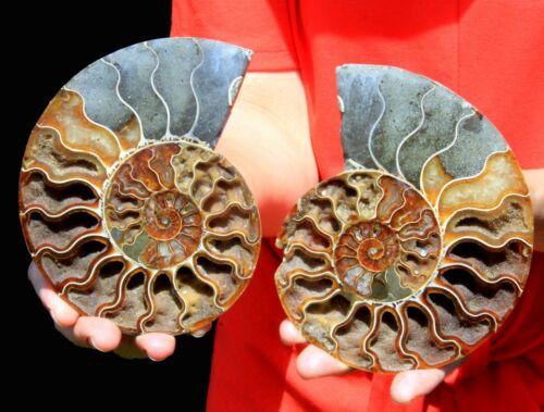 "Large 5.5"" Ammonite Pair, Madagascar! AMN418"