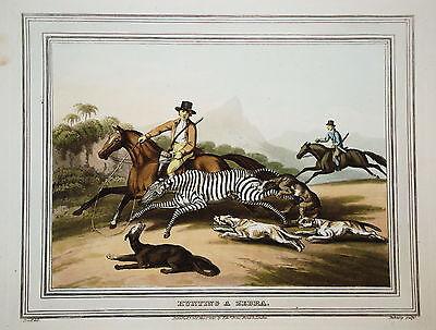 Zebra Jagd Zebrajagd seltener altkolorierter Kupferstich in  Aquatinta 1813