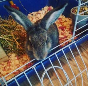 Loving bunny to good home
