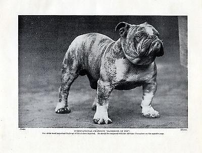 ENGLISH BULLDOG GREAT IMAGE JASPERDIN OF DIN OLD DOG PRINT PAGE FROM 1934