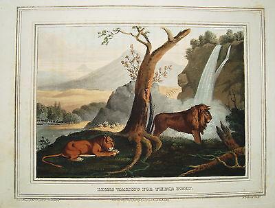 Löwe Löwen Afrika   seltener altkolorierter Kupferstich in  Aquatinta 1813