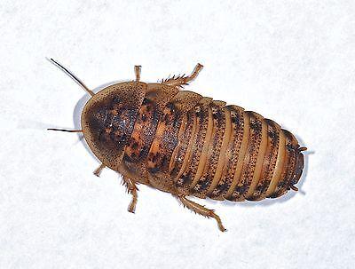 Dubia Roaches Blaptica  SMALL MEDIUM LARGE Cricket Alternative LARGE IN STOCK