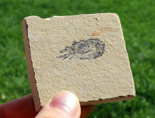 LQQK JURASSIC Fossil Shrimp From Solnhofen Germany - 150 MILLION YRS OLD !