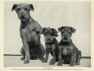 LAKELAND TERRIER MOTHER AND PUPPIES OLD ORIGINAL DOG PRINT FROM 1934