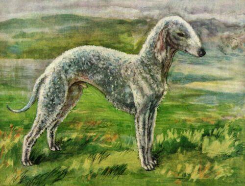 1930s Antique BEDLINGTON TERRIER Dog Art Print Vere Temple Art  3768h
