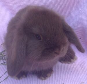 Purebred Choc Mini Lop Buck (ON HOLD) Lyndhurst Greater Dandenong Preview