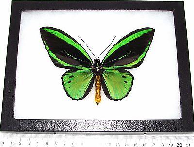 REAL FRAMED BUTTERFLY GREEN BLACK ORNITHOPTERA PRIAMUS POSEIDON BIRDWING ARFAK