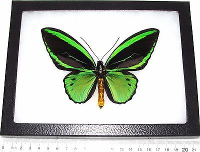 REAL FRAMED BUTTERFLY GREEN BLACK ORNITHOPTERA PRIAMUS POSEIDON ...