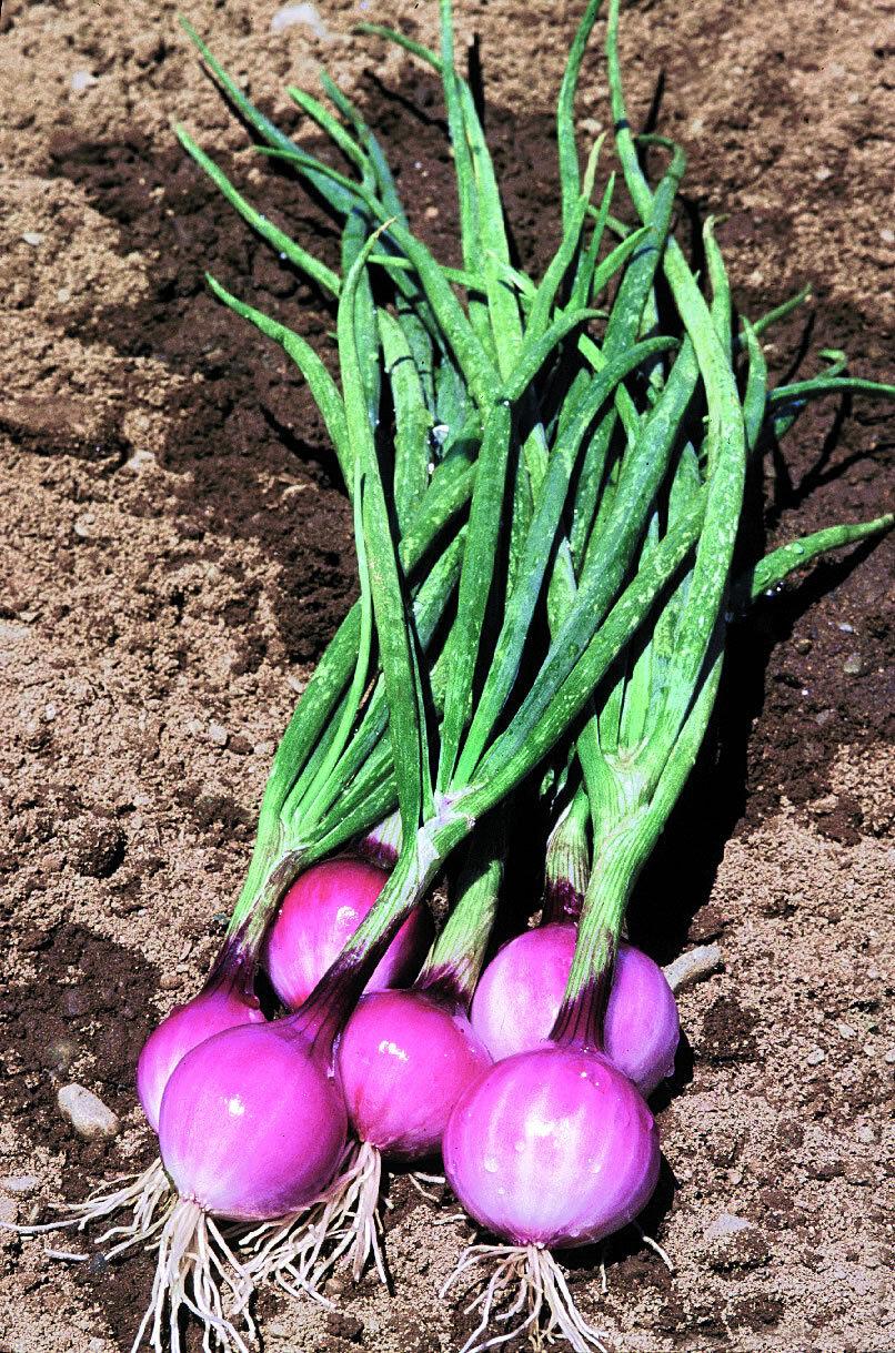 Allium fistulosum 400 SEEDS SPRING ONION