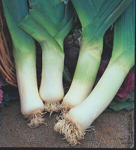 Leek Giant Winter - Appx 200 seeds - Vegetable