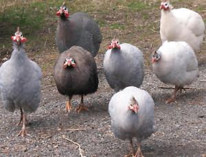 Male Guinea Fowls
