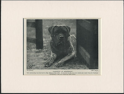 MASTIFF OLD 1930's NAMED DOG PRINT MOUNTED READY TO FRAME