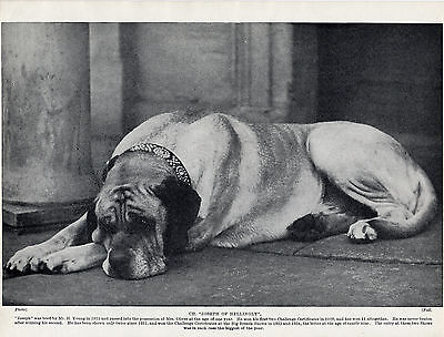 MASTIFF  CHAMPION JOSEPH OF HELLINGLY LOVELY OLD ORIGINAL DOG PRINT FROM 1934