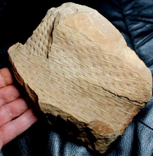Huge, amazing, rare Carboniferous Lycophyte plant