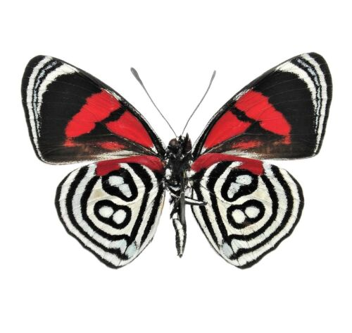 ONE REAL BUTTERFLY RED WHITE CALLICORE KOLYMA VERSO UNMOUNTED WINGS CLOSED