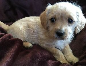 Little cavoodle cross puppy Newcastle Newcastle Area Preview