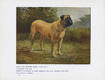 ENGLISH MASTIFF NAMED DOG RARE ANTIQUE DOG ART PRINT FROM 1907