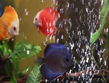 4 x Discus fish - Reduced for quick sale! Extra included... Sydney City Inner Sydney Preview