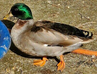 12 Call Ducks Hatching Eggs Pet - Breeder Quality Bantam Mixture Of Colors