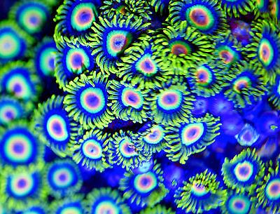 MMC Live coral 2-3 Rastas Zoanthids Zoas polyp palys