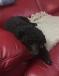 Wanted: Still Missing Black Toy Poodle