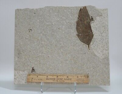 Large Fossil Plant Leaf & 3 Fly Insects Green River Formation Wyoming Eocene