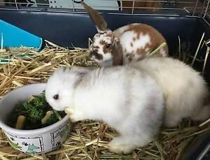 Mini Lop Rabbits Happy Valley Morphett Vale Area Preview