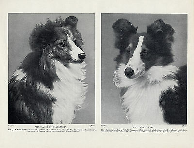 SHETLAND SHEEPDOG SHELTIE HEAD STUDY TWO NAMED DOGS OLD 1934 DOG PRINT