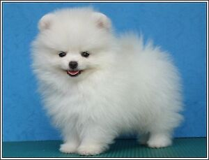 Pomeranian Puppies Ebay