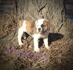 Old English Bulldogs blue ribbon generational Ready to go home!