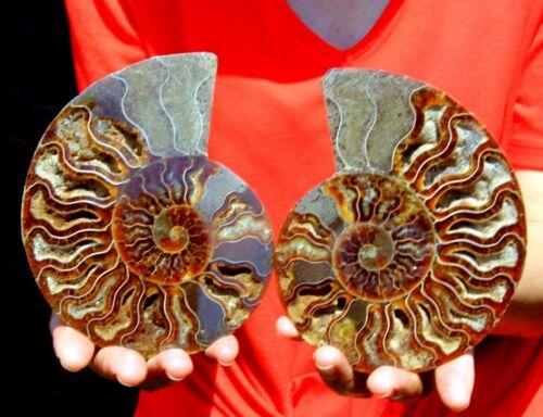 "Large 5.6"" Ammonite Pair, Madagascar! AMN427"