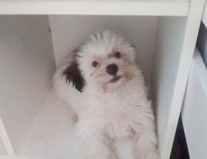 Maltese x shihtuz puppies for sale