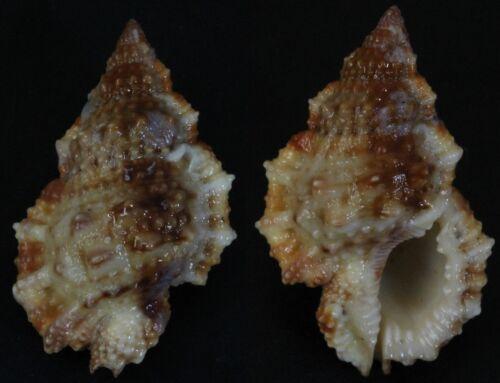 Seashells Bursa granularis VERY THICK 39mm F+++/GEM sea snail marine specimen