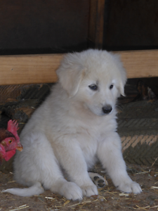 Maremma Puppies For Sale! Lucindale Naracoorte Area Preview