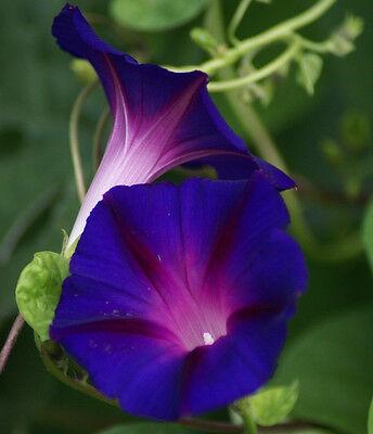 Violette Trichterwinde 500 Samen Ipomoea Purpurea Prunkwinde Morning Glory  - Morning Glory Ipomoea Purpurea