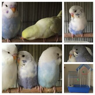Baby Budgies $13 & $15 each. & New cages Baulkham Hills The Hills District Preview