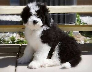 WTB Miniature Poodle Cross Puppy Mount Clear Ballarat City Preview