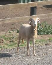For Sale Damara Wethers Campania Southern Midlands Preview